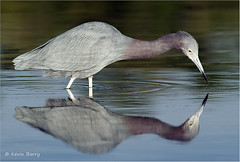 Little Blue Heron (Kevin B Photo) Tags: morning blue wild usa color reflection bird nature water beautiful beauty birds horizontal closeup america sunrise reflections outside outdoors photography one coast colorful day alone exterior graphic natural feeding florida native wildlife south scenic peaceful calm southern coastal daytime fl wade southeast avian wading saltwater littleblueheron serenitynow kevinbarry wowiekazowie