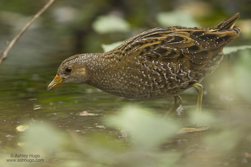 """Spotted Crake, Lower Moors, 271013 (A.Hugo) • <a style=""""font-size:0.8em;"""" href=""""http://www.flickr.com/photos/30837261@N07/10515858584/"""" target=""""_blank"""">View on Flickr</a>"""