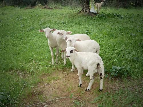 Nouveaux-nés de la ferme, Kardamas, Grèce