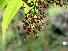 Acer elegantulum W.P.Fang & P.L.Chiu 1979 (SAPINDACEAE) (helicongus) Tags: spain acer sapindaceae acerelegantulum jardínbotánicodeiturraran