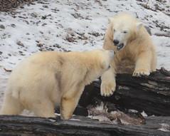 Luna and Kali Converse # 2 (Jay Costello) Tags: bear baby white ny newyork buffalo kali luna polarbear predator carnivore