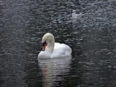 This Swan Goes Out To The One I've Left Behind (Bricheno) Tags: park reflections scotland swan pond gull escocia szkocja renfrew schottland muteswan blackheadedgull robertsonpark scozia cosse  esccia   bricheno scoia