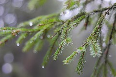 Spruce in the rain (patrikpersson) Tags: wood test green rain forest nikon sweden spruce blekinge d7100