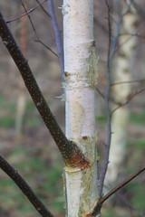Brown and white (Cefn Ila) Tags: tree stem branches bark trunk birch silverbirch betulapendula cefnila
