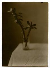 2014.01.12 positive (levas) Tags: 13x18 2014 bw directpositive bn111 stilllife flower analog euphorbiamilii blackandwhite
