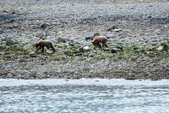 _MG_4241a (markbyzewski) Tags: alaska cub ugly brownbear grizzlybear glacierbaynationalpark