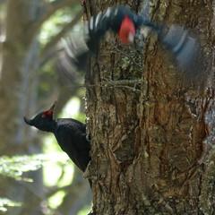 Carpintero gigante (pablodf) Tags: patagonia santacruz argentina aves piciformes picidae elchaltn carpinterogigante campephilusmagellanicus carpinterodecuellonegro
