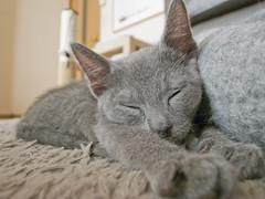 20140206-R0012814 (satanikazutaka) Tags: cat ao russianblue ロシアンブルー richogrdigitalii русскаяголубаякошка