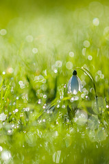 Snowdrop (Rogpow) Tags: isleofwight snowdrops galanthusnivalis wootton