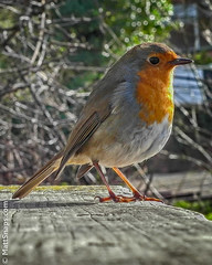 Robin (MattSnapsPhotography) Tags: wood red bird nature robin animals bench flying bokeh song feathers newbury