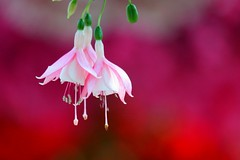フクシア (釣浮き草) /Fuchsia hybrida (nobuflickr) Tags: japan fuchsia hybrid 兵庫県 花鳥園 fuchsiahybrida anawesomeshot フクシア hyogopref awesomeblossoms 釣浮き草 英名 20140216dsc09295 ktatyouen アカバナ科フクシア属。