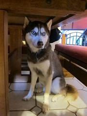 Sit Frodo (Fan-T) Tags: dog puppy table husky sit siberian frodo sdp45