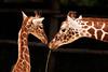 Giraffe with her calf (Harryk59) Tags: animal young giraffe calf