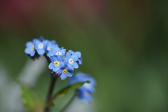勿忘草/Myosotis scorpioides (nobuflickr) Tags: flower nature japan kyoto forgetmenot myosotisscorpioides 勿忘草 thekyotobotanicalgarden waterforgetmenot わすれなぐさ ムラサキ科ワスレナグサ属 20140226dsc01567