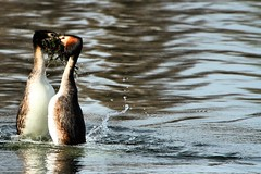 Grebe Courtship - Harrold Country Park - Explored :-) (Airwolfhound) Tags: dance explore grebe courtship harroldcountrypark