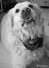 Chap (Radcha) Tags: bw dog chien black love dogs golden belgium retriever eupen uploaded:by=flickrmobile flickriosapp:filter=nofilter