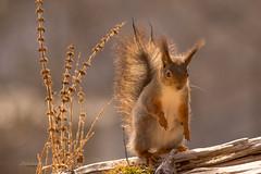 open standing (Geert Weggen) Tags: winter snow ice animal mammal squirrel sweden jmtland geert eekhoorn weggen jmtland ilobsterit hardeko ekhorre