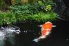 Beautiful Fish (Mike MacLeod) Tags: travel japan digital canon garden island eos factory hiroshima miyajima momiji 7d dslr manju