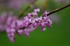 Untitled (GOLIATHGUN) Tags: outdoors 50mm spring nikon dof bokeh naturallight aroundthehouse shallowdepthoffield 2014 flowersplants theworldthroughmyeyes d7000 50mm18g afsnikkor50mmf18g