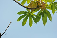 Sterculia pexa Pierre Malvaceae: ปอบ้านม ปอขาว