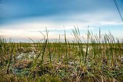 Everglades (photocat001) Tags: sunset nature outdoors interesting natural vibrant conservation everglades sawgrass
