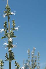 Salvia apiana (Weeding Wild Suburbia) Tags: park gardens places publicgardens spnp