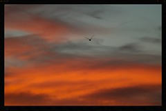 Sunset flight (Zelda Wynn) Tags: sunset sky orange nature clouds gull auckland cloudscape troposphere zeldawynnphotography