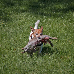 Do You Believe Her? (me'nthedogs) Tags: rabbit jrt terrier snaps jackrussell
