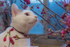 Cat and flowers  (Sharleen Chao) Tags: flowers pet macro home face animal cat canon feline interior taiwan indoor noflash cherryblossom taipei  tone nene        1635mm      5dmarkiii