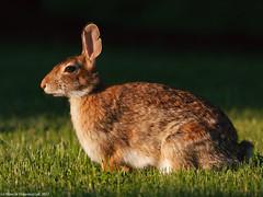 Bunny at sunset (v4vodka) Tags: rabbit bunny nature animal rodent wildlife krolik cottontail easterncottontail sylvilagusfloridanus cottontailrabbit kicus