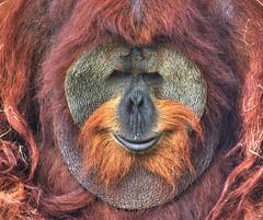 Orangutan (Mysophie08) Tags: infocus highquality bigmomma 15challengeswinner challengegamewinner fotocompetitionbronze