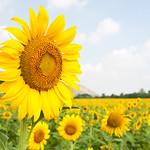 Big sunflower thumbnail