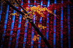 Konzo-ji/金蔵寺 (Photo_nori) Tags: autumn fall leaves japan garden landscape temple kyoto rainy 日本 紅葉 雨 京都市 京都府 金蔵寺 konzoji