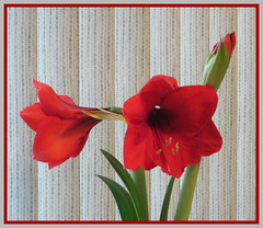 Amaryllis Vibrant Red (bigbrowneyez) Tags: flowers red texture beautiful beauty leaves design grande petals big pretty pattern bright blossom blossoms fresh exotic amaryllis frame tall growing bud lovely elegant fiori cheerful joyful rosso belli evolving bold delightful cornice blooming elegance uplifting alti bellissimi amaryllisvibrantred