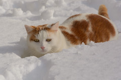 A cat in the snow (bertrandwaridel) Tags: winter cats snow cat switzerland suisse february vaud 2015 echallens kinaï