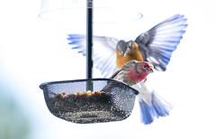 IMG_0217 (Vishal Singh Chauhan Photography) Tags: blue bird canon flying wings charlotte flight feeder finch eastern 6d 200mm 20200 f28l is2