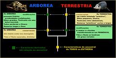 Dicotomia ARBOREA-TERRESTRIA (heterobatmias) (ARCANO NelsoN Gomes) Tags: evolution arborea evoluo eutheria terrestriality arboreality terrestria evolutionofmammals newclassificationofmammalia