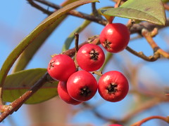 Vogelbeere (photomotivjger) Tags: plant nature fruit berry natur pflanze shrub rowan beere frucht strauch vogelbeere