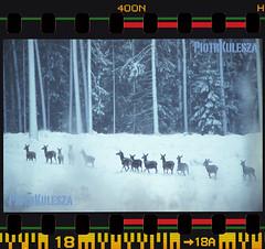 5am Kopie (stuartkul) Tags: las winter color nikon mazury scan mf nikkor wald fm2 luty c41 2015 skan 600mm agfa400 nikon9000ed nikkor30028 2xtele mazuren