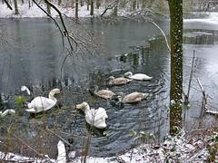 Winter am Villenhofer Maar (mama knipst!) Tags: bird swan schwan vogel