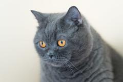 Kisa (Tadas Telksnys) Tags: cat bluecat britishshorthair lithuania kisa graycat greycat lietuva sigma105mmf28exdgoshsm