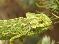 IMG_8788 (Sula Riedlinger) Tags: portugal nature reptile wildlife algarve chameleon riaformosa chamaeleochamaeleon portugalnature mediterraneanchameleon commonchameleon portugalwildlife