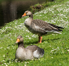 Greylag parents (Graham Dash) Tags: geese surrey cobham wildfowl painshillpark painshill greylaggeese