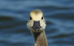 Hey, Little Buddy (Vidterry) Tags: goose gosling canadagoose