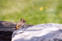 Toronto Zoo - May 4, 2016 (MorboKat) Tags: toronto nature animal mammal zoo rodent outdoor chipmunk animalia mammalia torontozoo rodentia sciuridae tamias marmotini sciuromorpha tamiina