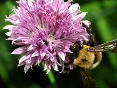 Bumblebee on a Chive Flower 2 (thatSandygirl) Tags: flower macro green texture nature animal garden insect outdoors purple blossom lavender bee bumblebee bloom herb chive