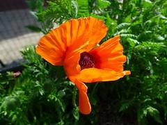 P1040817 (Claudie K) Tags: orange soleil grillage pavot jardinet feuillage achillefilipendule