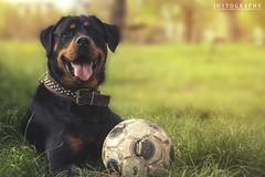 Sira (Jostography) Tags: portrait espaa dog naturaleza dogs nature smile animal canon ball happy football spain play retrato soccer streetphotography rottweiler doggy felicidad feliz sira