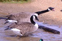 DSC_2458 (Vlad Proklov) Tags: birds richmond