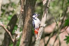 Woodpecker  1 (Vinny Burns) Tags: england bird canon eos woodpecker unitedkingdom gb 2016 ticknall calkeabbey ef400mmf56lusm 5dmkiii 5dmk3 5d3 5dmarkiii vinnyburns